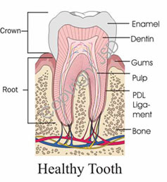 Graphic of a Healthy Tooth